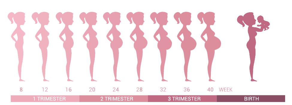 trimesters